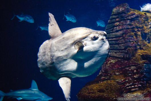 Spanien Valencia/Moonfish in the Valencia Aquarium - Chocolate Fish ...