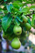 Travel photography:Pears growing on a tree in Bregenz , Austria