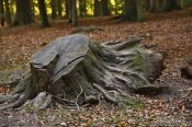 Travel photography:Tree stump in autumn forest, Germany