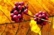 Travel photography:Berries on leaf