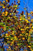 Travel photography:Tree branches with leaves in autumn colour