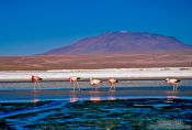 Travel photography:Flamingoes feeding in Laguna Colorada, Bolivia