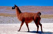 Travel photography:Llama at Laguna Hedionda, Bolivia