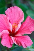 Travel photography:Pink hibiscus flower near Lençóis, Brazil