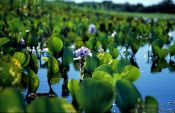 Travel photography:Water plants in the Pantanal, Brazil