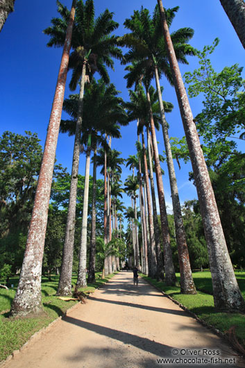 Avenue of Royal palms (Roystonea) in Rio´s Botanical Garden