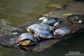 Travel photography:Turtles within the fountain of Rio´s Botanical Garden, Brazil