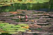 Travel photography:Water plants in a pond in Rio´s Botanical Garden, Brazil