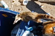 Travel photography:Quati (coati) animal scavenging through rubbish on top of the Corcovado in Rio de Janeiro, Brazil