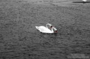 Travel photography:Tinted black and white image of two swans, Germany