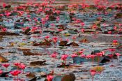 Travel photography:Water lilies in Angkor Wat , Cambodia