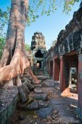 Travel photography:Fig tree at Banteay Kdei , Cambodia