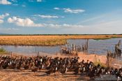 Travel photography:Duck farm along the road from Sihanoukville to Kampott , Cambodia