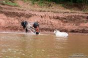 Travel photography:Washing the cows in the Mekong river , Cambodia