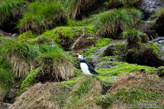 Atlantic puffin (Fratercula arctica) on bird island near  Bay Bulls