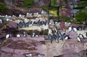 Travel photography:Guillemot colony on bird island near Bay Bulls, Canada