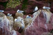 Travel photography:Nesting sea gulls on bird island near Bay Bulls, Canada