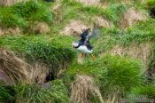 Travel photography:Atlantic puffin (Fratercula arctica) on bird island near  Bay Bulls, Canada