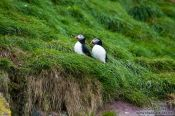 Travel photography:Atlantic puffins (Fratercula arctica) on bird island near  Bay Bulls, Canada