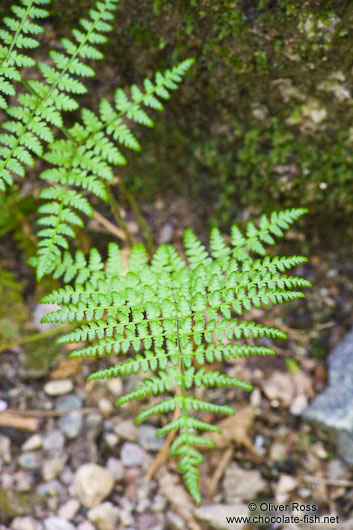 Fern in Quebec´s Mont Tremblant National Park