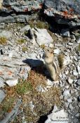 Travel photography:Squirrel in Banff National Park, Canada