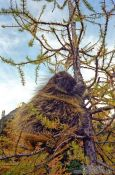Travel photography:Porcupine near Lake Louise, Canada
