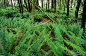 Travel photography:Ferns on Vancouver Island, Canada