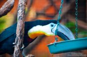 Travel photography:Tucan in Hong Kong´s Zoological Garden, China