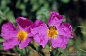 Travel photography:Flowers with bee in Rab, Croatia