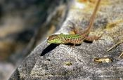 Travel photography:A lizard sunning itself in Rab, Croatia