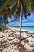 Travel photography:Palm trees at Cayo-las-Bruchas beach, Cuba