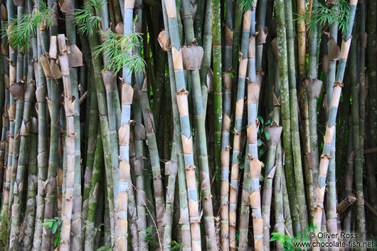 Bamboo in the botanical garden in Cienfuegos