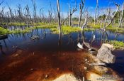 Travel photography:Dead trees in a swamp in Cayo-Jutias, Cuba
