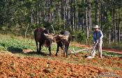 Travel photography:Vinales-ploughing-the-field-3551, Cuba