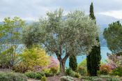 Travel photography:Olive trees grow on the shores of the Lac Sainte Croix, France