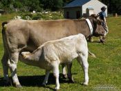 Travel photography:Cow with calf, France
