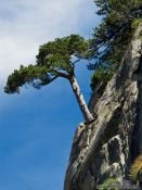Travel photography:Tree growing on a near vertical rock face, France