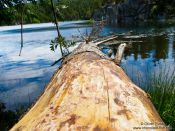 Travel photography:Fallen tree at the Lac Noire, France