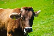 Travel photography:Cow in the Allgäu, Germany