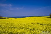 Travel photography:Rape field at the Baltic cost near Bülk, Germany
