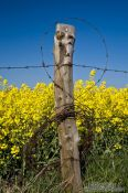 Travel photography:Fence detail with flowering rape plants in the background, Germany