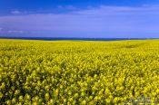 Travel photography:Rape field near Kiel with Baltic Sea in the background, Germany