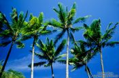 Travel photography:Coconut Palms against the sky, Hawaii USA