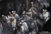 Travel photography:Nesting Kittiwakes (Rissa tridactyla) inhabit the Arnarstastapi cliffs, Iceland