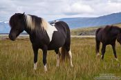 Travel photography:Iceland horses near Glymur, Iceland