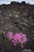 Travel photography:Suvival on volcanic ground near Mývatn, Iceland