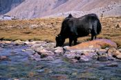 Travel photography:Yak near Diskit, India