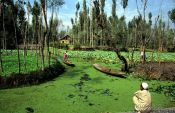 Travel photography:Fields in the Dal lake near Srinagar, India