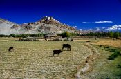 Travel photography:Thiksey Gompa from Indus Valley, India