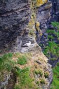 Travel photography:Nesting sea gull at the Cliffs of Moher , Ireland